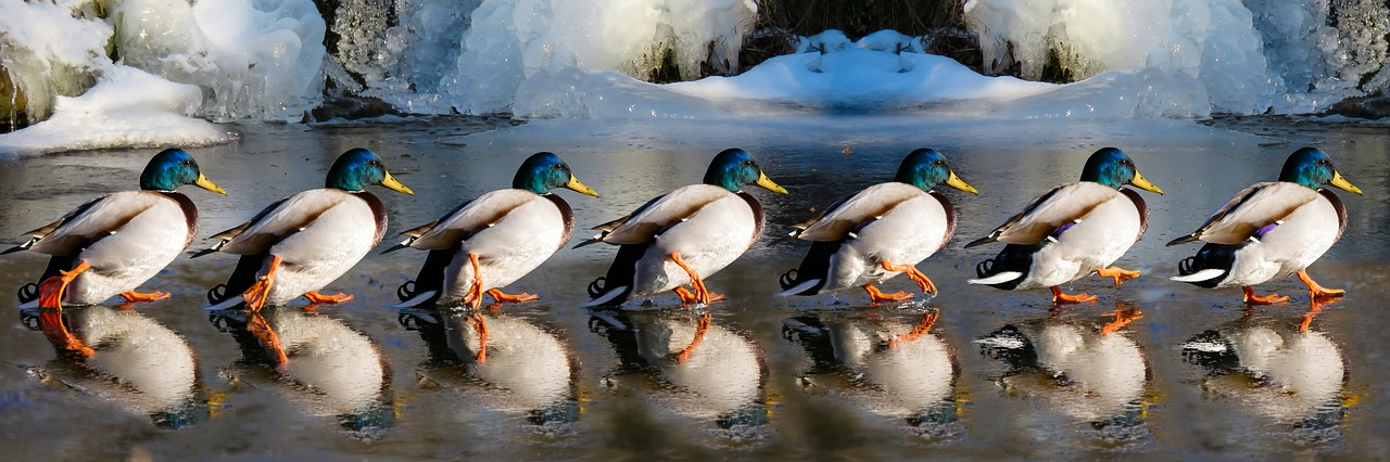 ducks on slippery ice